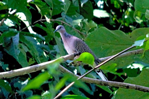 IMG_0363 spotted turtle dove