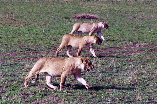 ライオン3頭が行く再