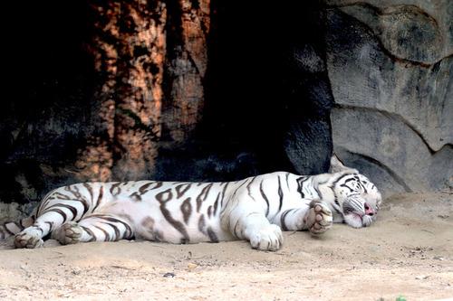IMG_3385 白虎の白雪