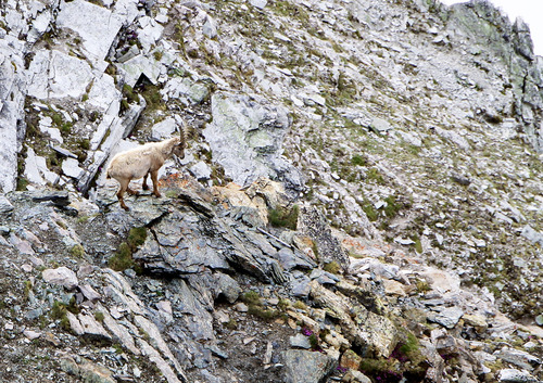 スイス アイベックス 岩壁で