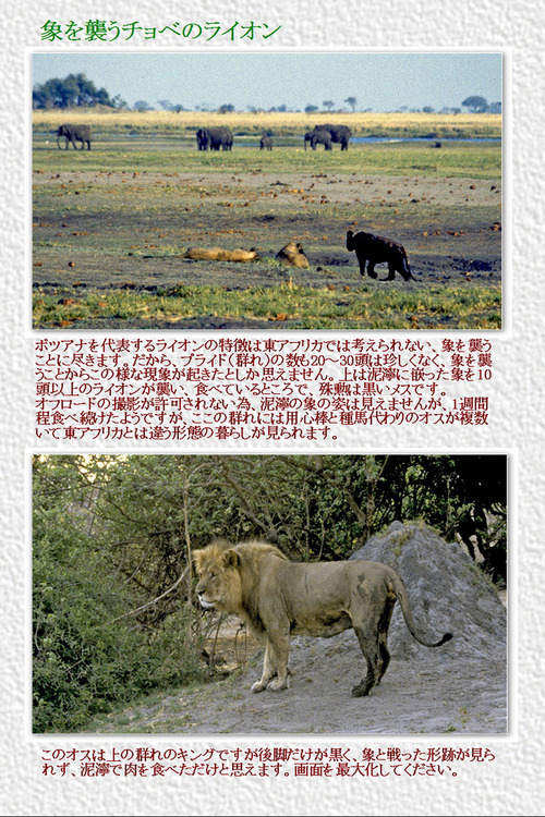 12 象を襲うチョベのライオン
