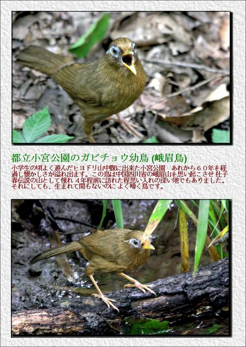 小宮公園のガビ幼鳥
