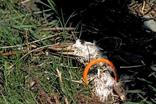 IMG_3617 残酷なカモの亡骸