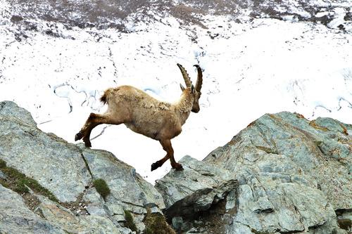 スイス アイベックス 岩場を跳ぶ