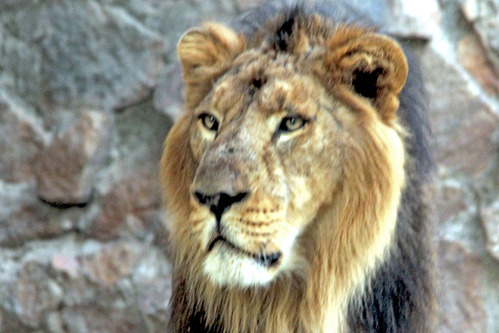 ライオンの画像 p1_37
