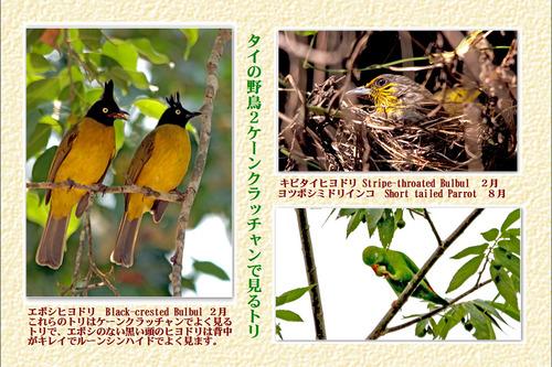 14番タイの野鳥2ケンクラッチャン主に2月