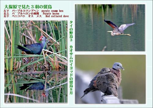19番タイの野鳥3カオサムロイヨッドの留鳥8月
