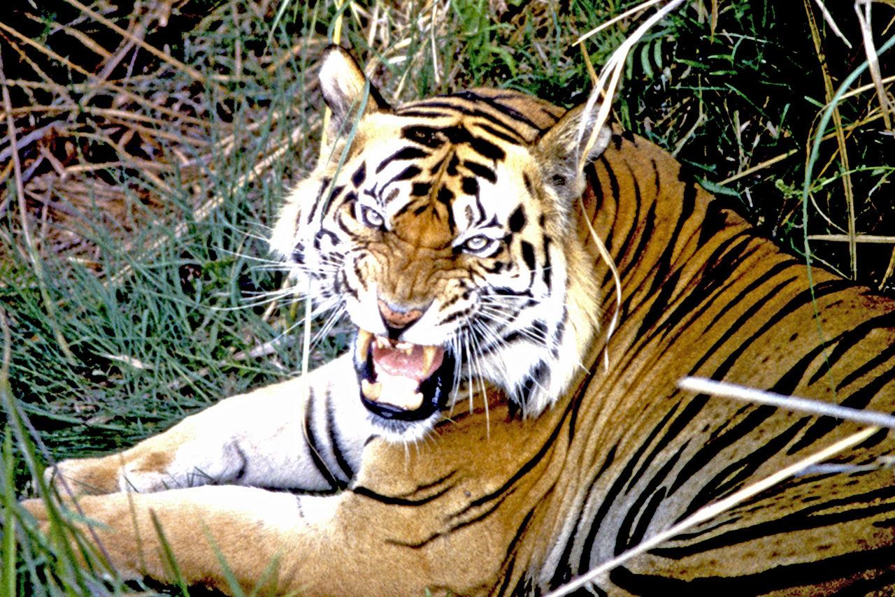 虎の画像 p1_33