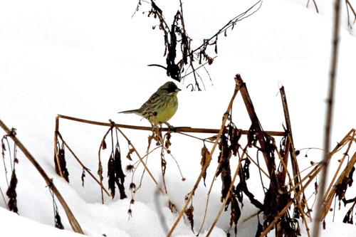 IMG_5586 雪のアオジ ブログ