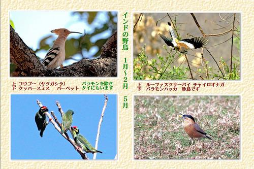 2番インドの野鳥1月