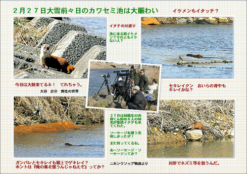 2月27日カワセミ池イタチ ブログラベル
