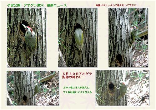 小宮公園アオゲラ巣穴ニュース