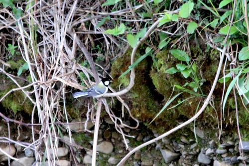 IMG_9988 カワセミ巣穴のシジュウカラ11日