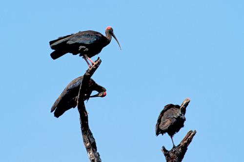 IMG_8493  black Ibis