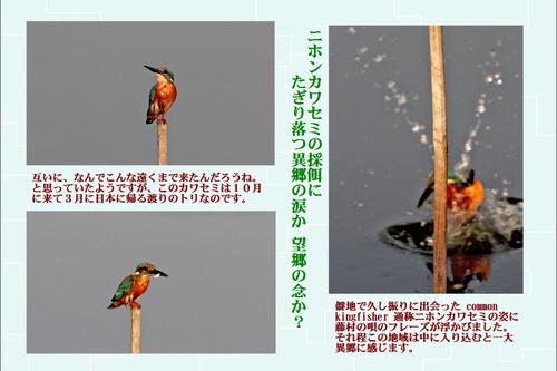 10番ニホンカワセミ採餌
