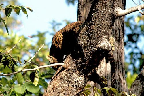 IMG_0164 樹上のヒョウ