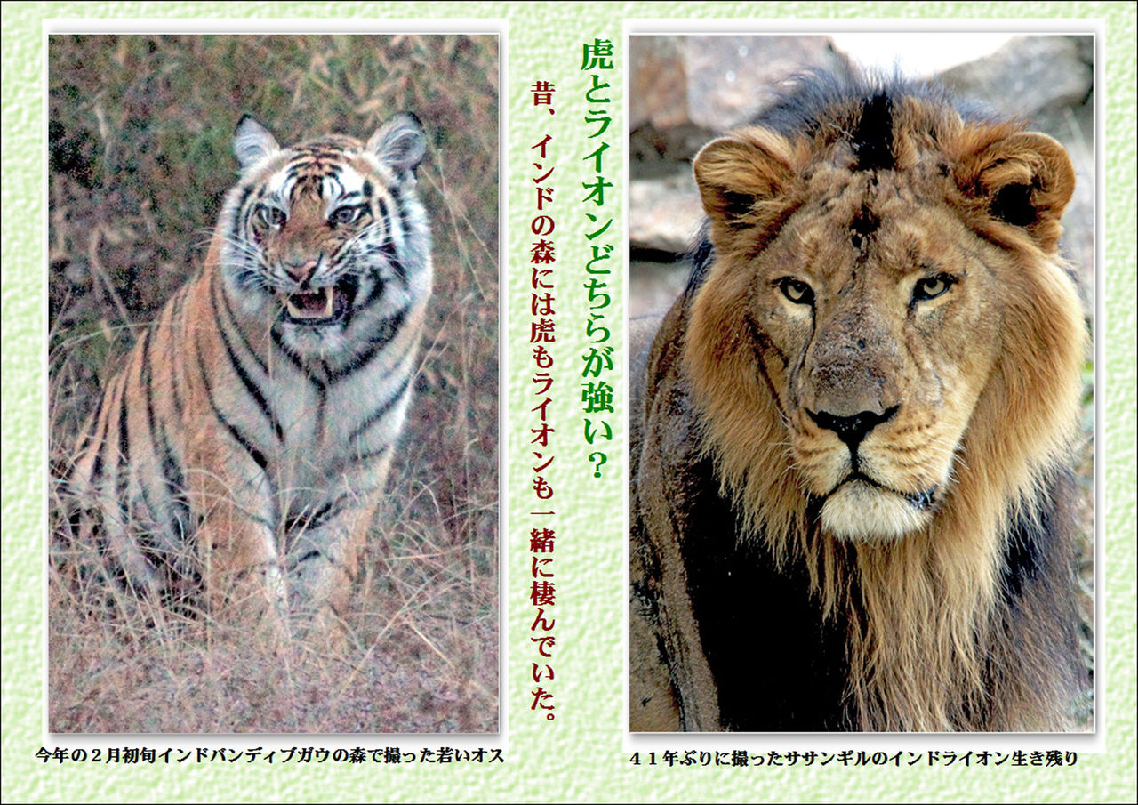 虎の画像 p1_32