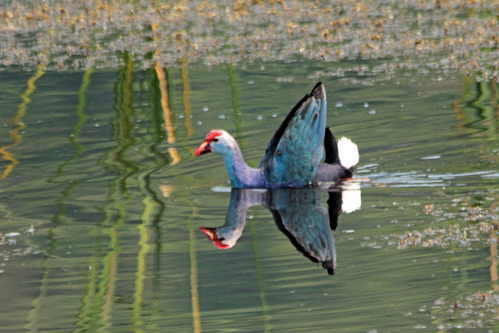 IMG_1752 purple swamphen