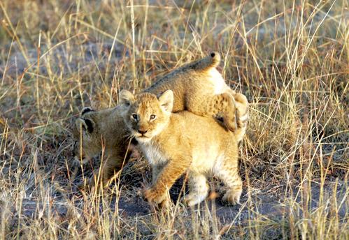 ライオン子供2