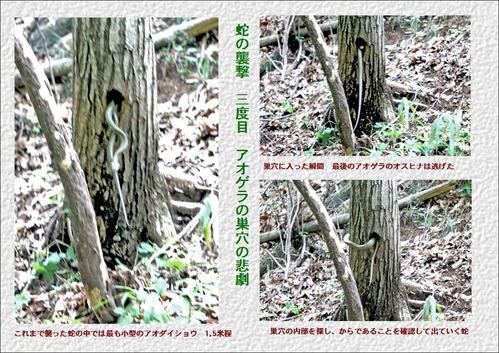三度目の蛇襲撃アオゲラ巣穴