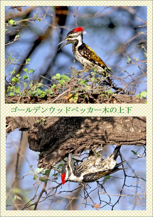 12番インドの野鳥4ゴールデンウッドペッカー木の上下5月