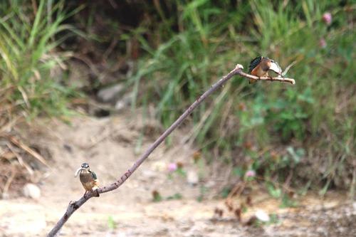 IMG_4671 幼鳥獲物ダブルゲット 6日ブログ