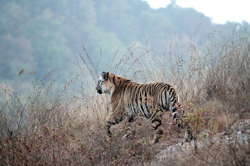 IMG_1137 朝一番の虎