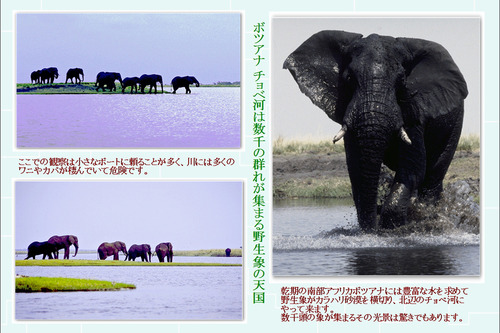 3 チョベ河は野生象の天国