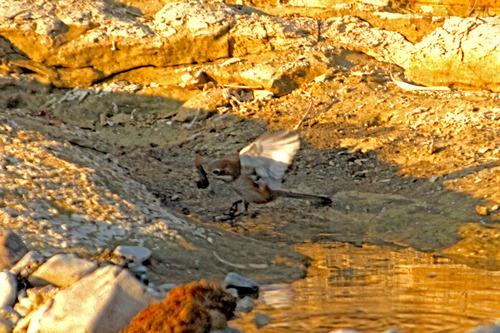 IMG_2205 百舌鳥狩り のコピー