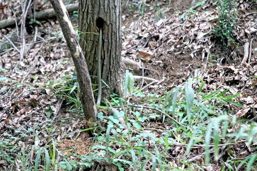 IMG_4375 巣穴を出る蛇2米程 メール