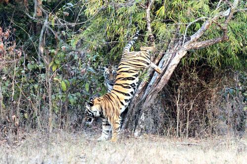 IMG_1563 バリグファの虎
