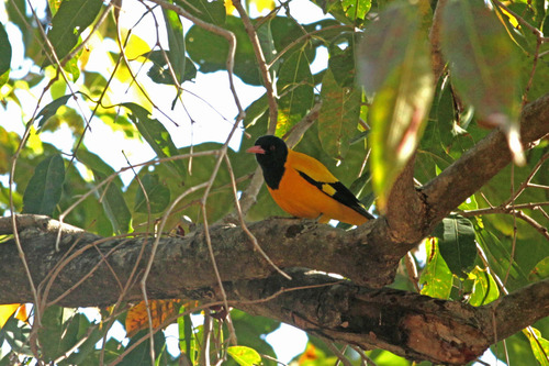 IMG_9833Black headed oriole