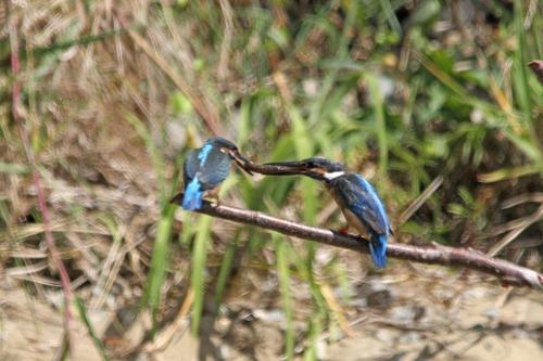 8月24日オスが幼鳥に給餌