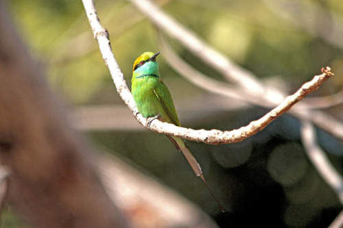 IMG_0458  Green-BeeEater のコピー