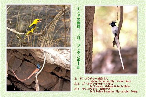10番インドの野鳥2ランタン5月