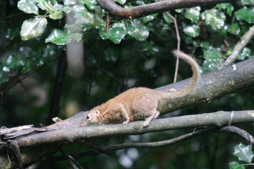 14IMG_8208 Tree shrew のコピー