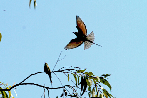 IMG_8483 Bee eater 飛翔