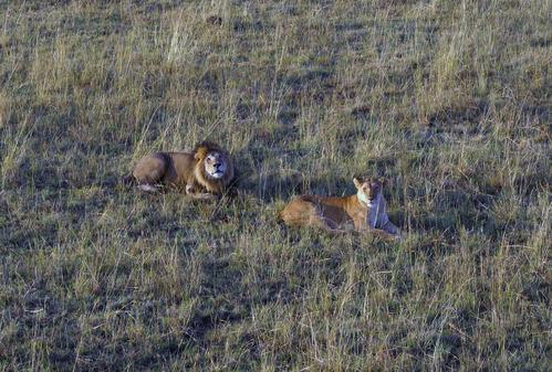 バルーンでライオン の上を飛ぶ2