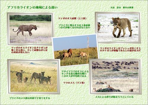 アフリカライオンの地域での違い のコピー