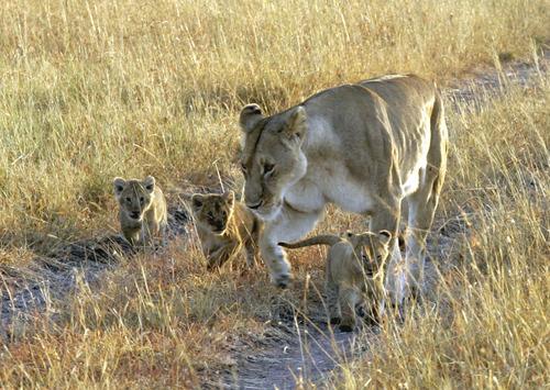 ライオン母子 のコピー