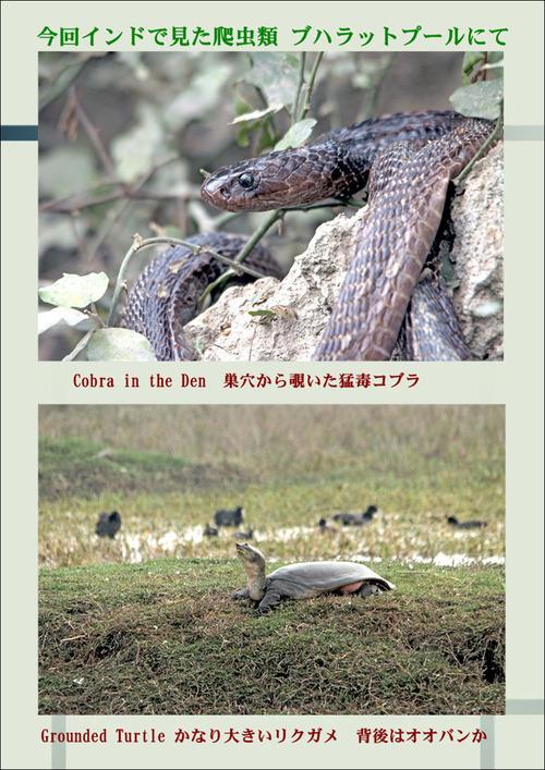 インドで見た爬虫類