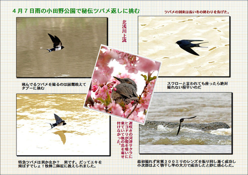 雨の小田野公園でツバメを撮る