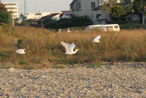 IMG_7330 コサギ飛ぶ