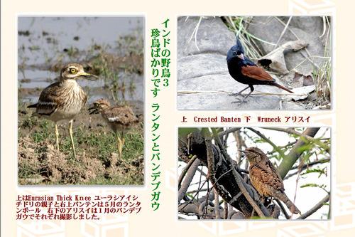 11番インドの野鳥3珍鳥2月