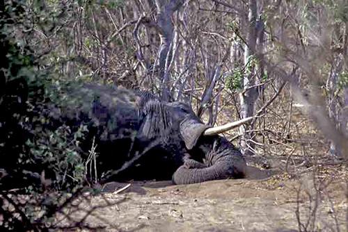 14 象眠るボツアナ