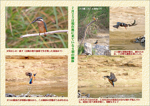 7月23日現在池に来る個体4羽