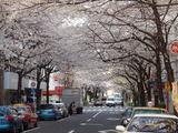 兜町の桜並木