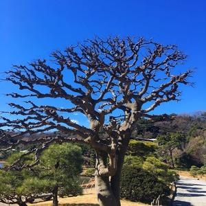 三渓園の木