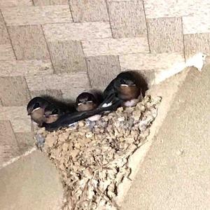 つばめの巣と雛鳥