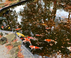 伊豆山神社の鯉